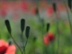 Galerie photos Coquelicots boutons